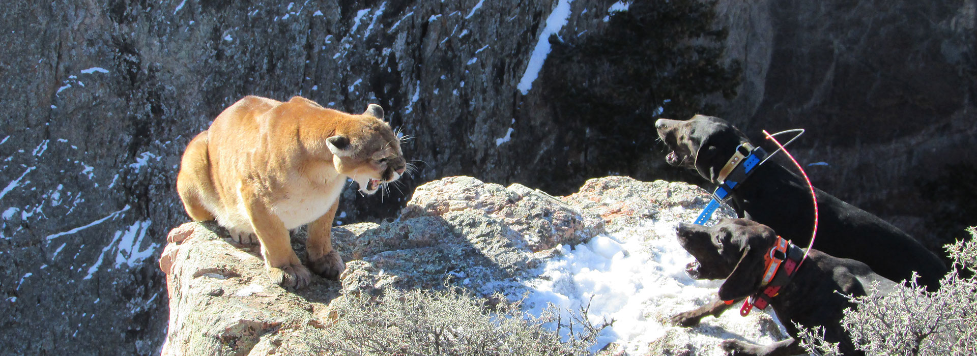 Wyoming Mountain Lion Hunts on Private Ranches